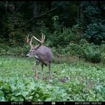 Trail cam photo: deer in field.